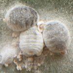 Cochenilles farineuses