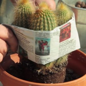 Rempoter cactus