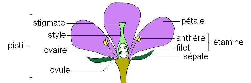 Schéma fleur